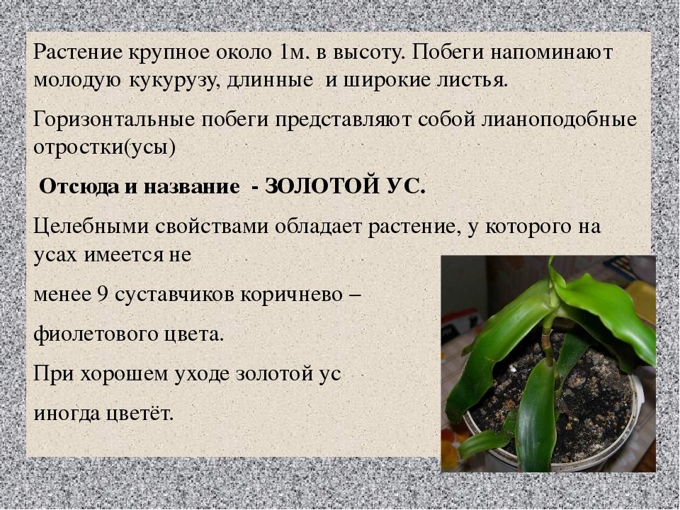 Растение крупное около 1м. в высоту. Побеги напоминают молодую кукурузу, длин...