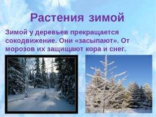 Растения зимой. Зимой у деревьев прекращается сокодвижение. Они «засыпают». О