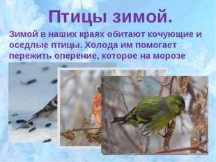 Птицы зимой. Зимой в наших краях обитают кочующие и оседлые птицы. Холода им