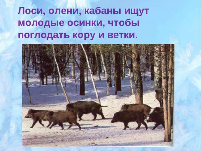 Лоси, олени, кабаны ищут молодые осинки, чтобы поглодать кору и ветки.