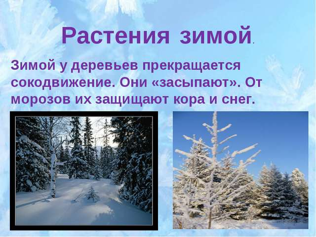 Растения зимой. Зимой у деревьев прекращается сокодвижение. Они «засыпают». О...