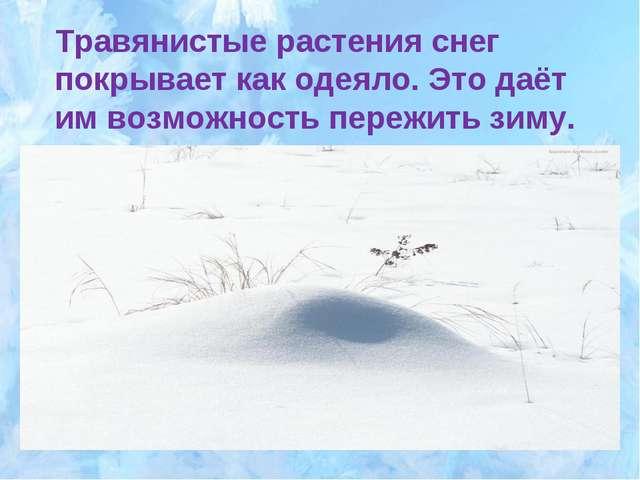 Травянистые растения снег покрывает как одеяло. Это даёт им возможность переж...