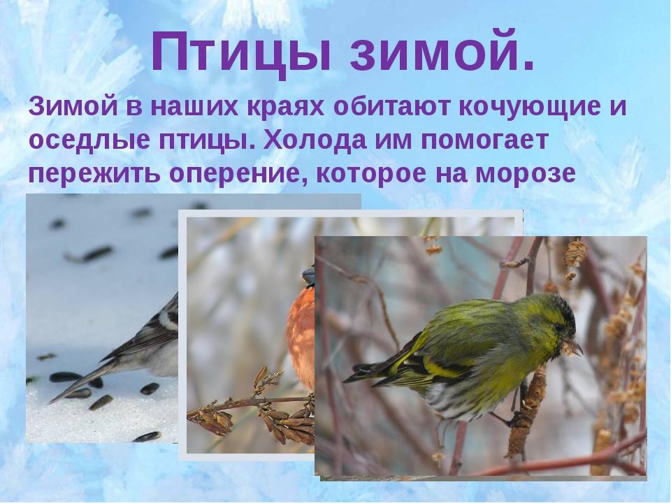 Птицы зимой. Зимой в наших краях обитают кочующие и оседлые птицы. Холода им...