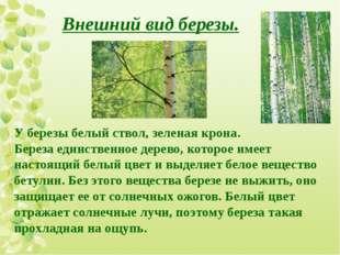 У березы белый ствол, зеленая крона. Береза единственное дерево, которое имее
