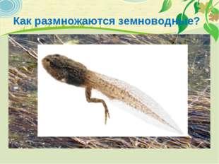 Как размножаются земноводные?