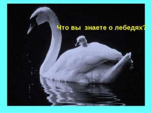 Что вы знаете о лебедях?