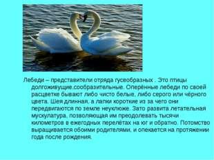 Лебеди – представители отряда гусеобразных . Это птицы долгоживущие,сообразит