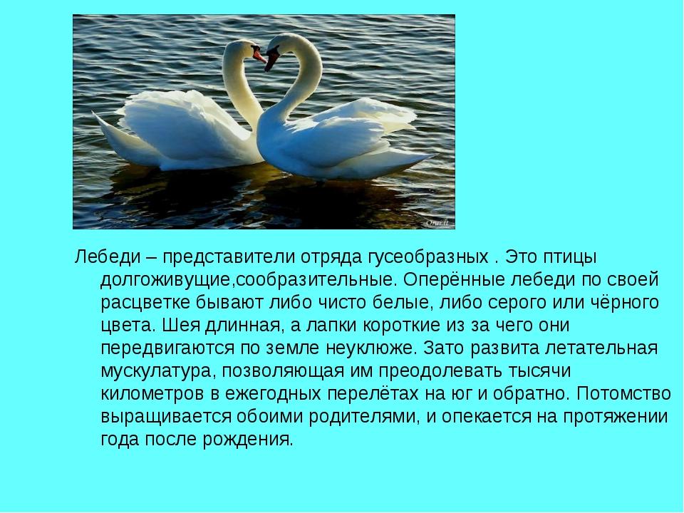 Лебеди – представители отряда гусеобразных . Это птицы долгоживущие,сообразит...