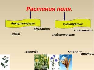 Растения поля. дикорастущие культурные осот подсолнечник хлопчатник кукуруза