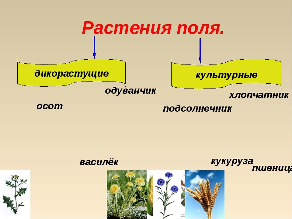 Растения поля. дикорастущие культурные осот подсолнечник хлопчатник кукуруза...