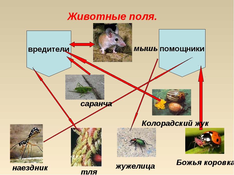 Животные поля. вредители помощники наездник саранча Божья коровка Колорадский...