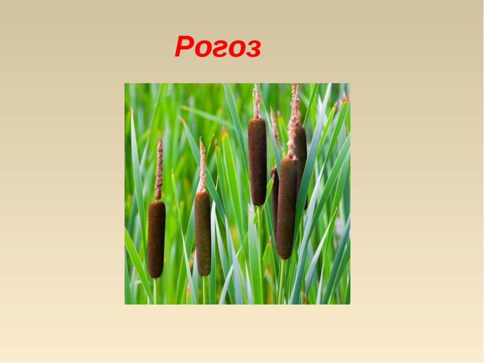 Рогоз