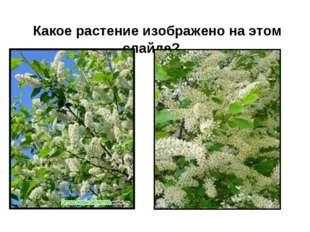 Какое растение изображено на этом слайде?
