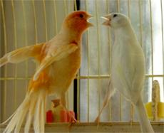 http://www.zoovet.ru/images/kanarej/kanar_3.jpg