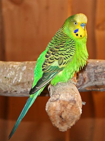 Волнистый попугай (Melopsittacus undulatus), фото птицы фотография