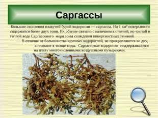 Саргассы Большие скопления плавучей бурой водоросли — саргассы. На 1 км² пове