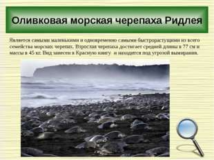 Оливковая морская черепаха Ридлея Является самыми маленькими и одновременно с