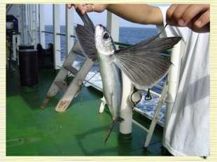 Летучие рыбы Особенностью рыб является необычно большие грудные плавники, поз