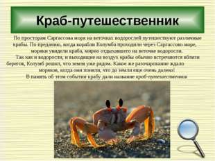 Краб-путешественник По просторам Саргассова моря на веточках водорослей путеш