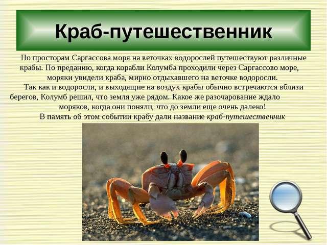 Краб-путешественник По просторам Саргассова моря на веточках водорослей путеш...
