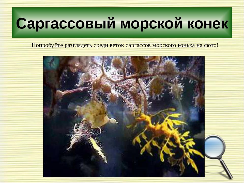 Саргассовый морской конек Попробуйте разглядеть среди веток саргассов морског...