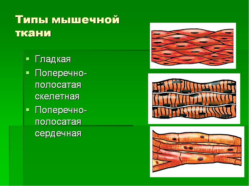 Мышечная ткань в рисунках человека