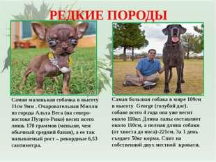РЕДКИЕ ПОРОДЫ Самая маленькая собачка в высоту 11см 9мм . Очаровательная Милл