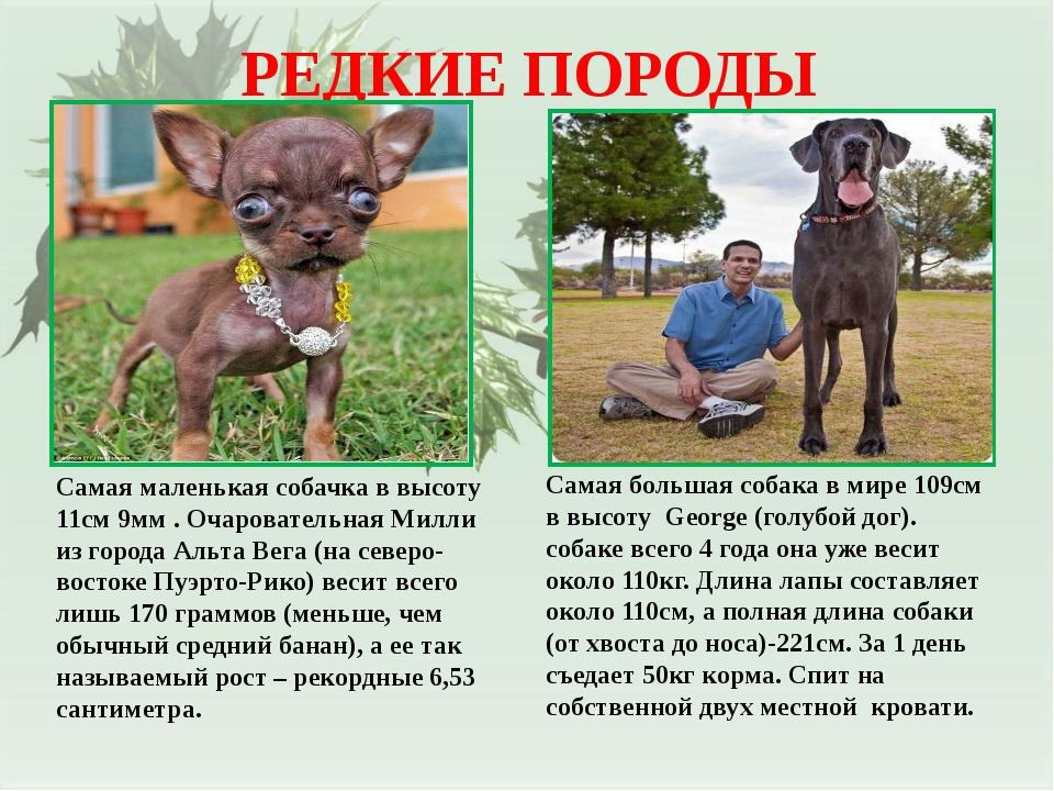 РЕДКИЕ ПОРОДЫ Самая маленькая собачка в высоту 11см 9мм . Очаровательная Милл...