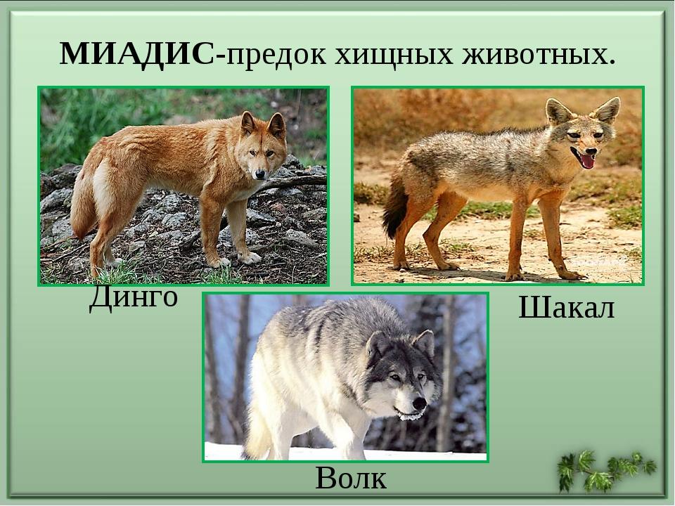 МИАДИС-предок хищных животных. Волк Динго Шакал