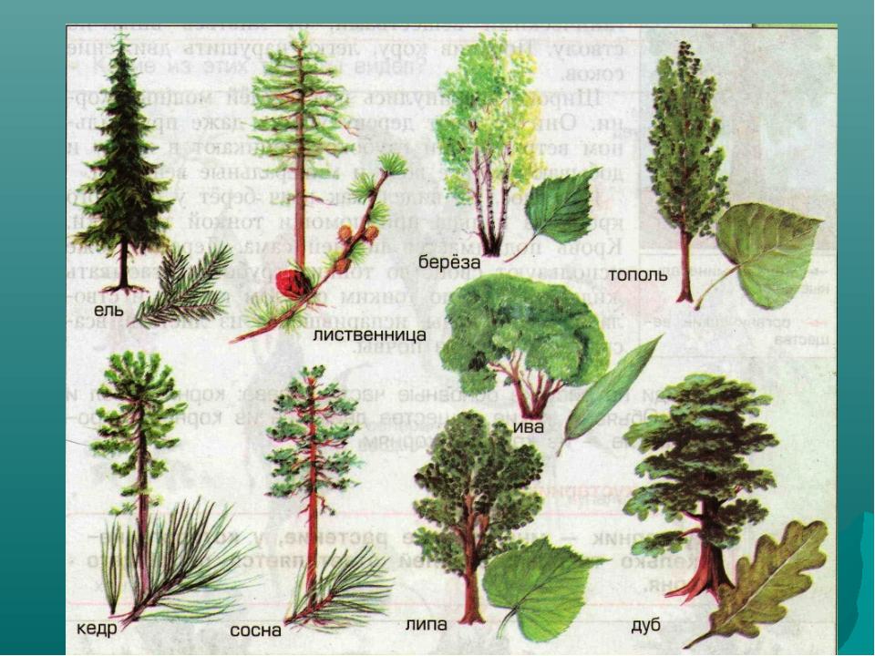 Растения леса картинки с названиями для детей
