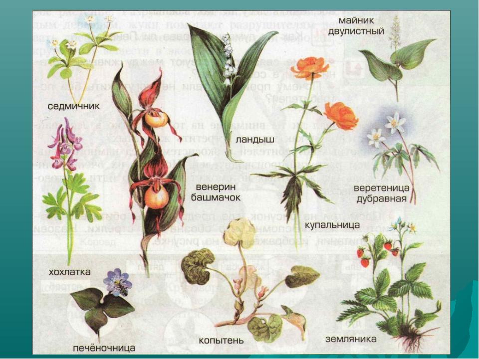 название растений с картинками лесных прогулочный, катер