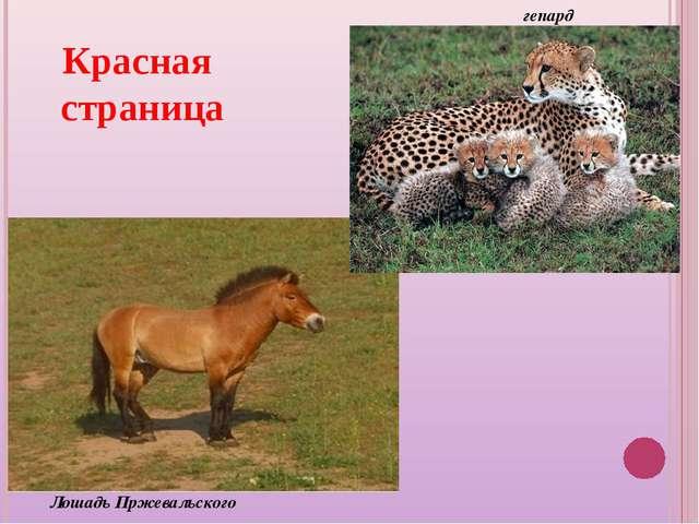 Лошадь Пржевальского гепард Красная страница