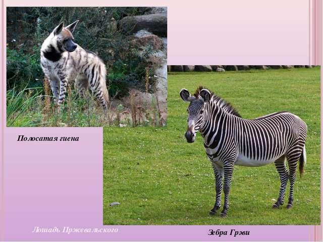 Лошадь Пржевальского Зебра Грэви Полосатая гиена