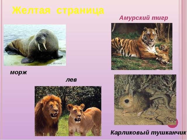 морж лев Амурский тигр Карликовый тушканчик Желтая страница