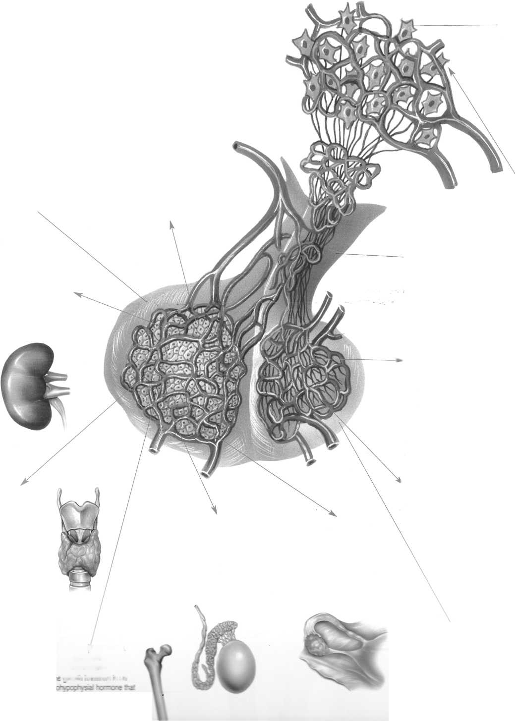 гормоны и органы мишени схема