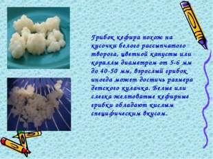 Грибок кефира похож на кусочки белого рассыпчатого творога, цветной капусты