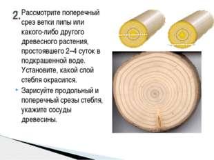 Рассмотрите поперечный срез ветки липы или какого-либо другого древесного рас