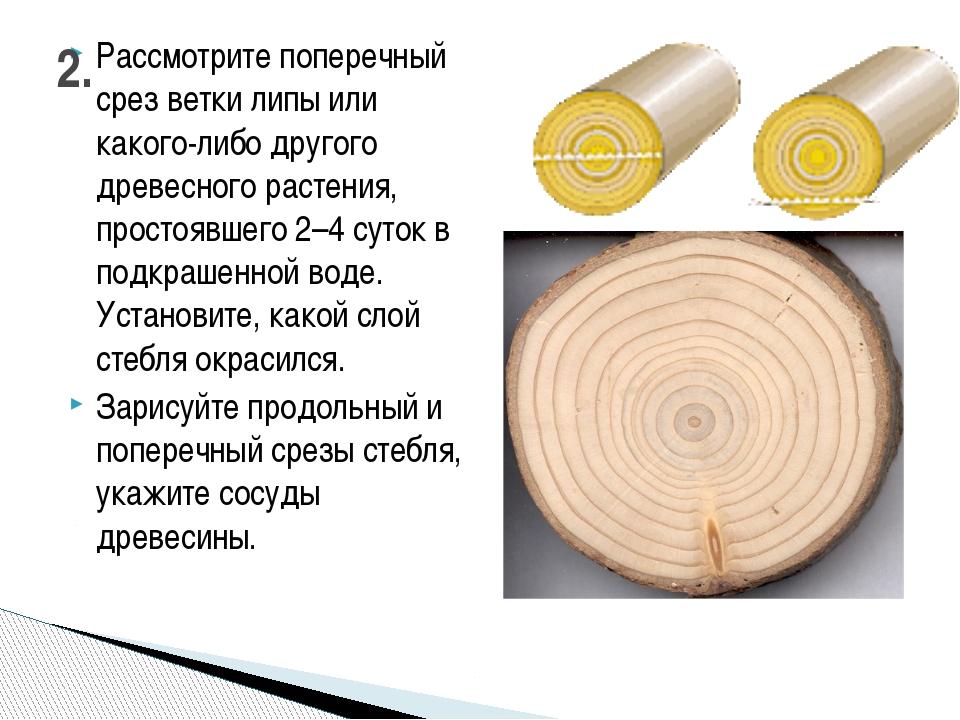 Рассмотрите поперечный срез ветки липы или какого-либо другого древесного рас...