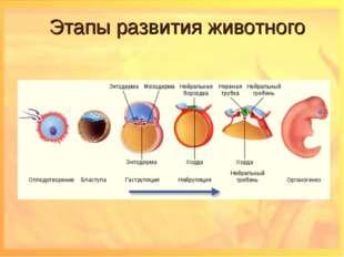 Этапы развития животного