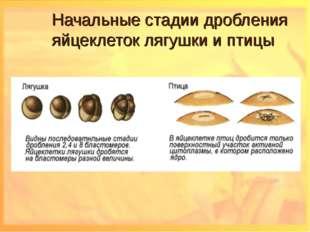 Начальные стадии дробления яйцеклеток лягушки и птицы