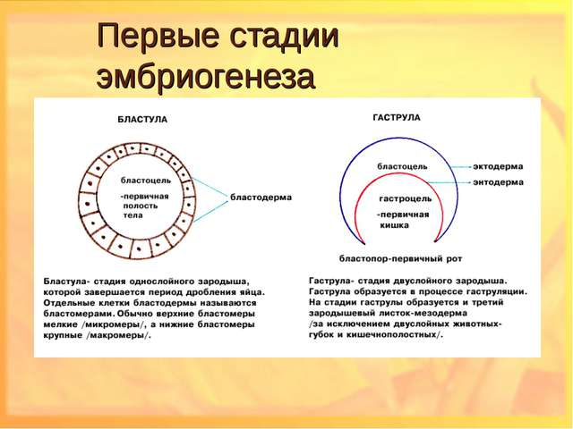 Первые стадии эмбриогенеза