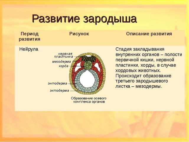 Развитие зародыша Период развитияРисунокОписание развития Нейрула Стадия...