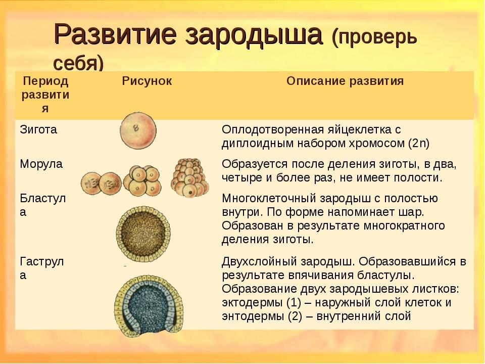 Развитие зародыша (проверь себя) Период развитияРисунокОписание развития Зи...