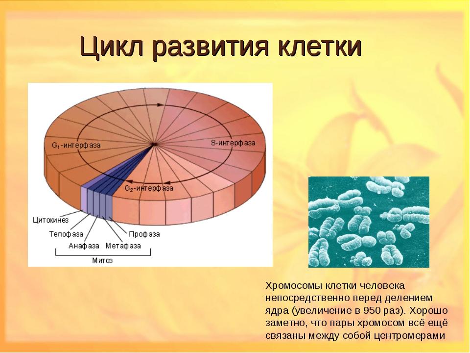 Цикл развития клетки Хромосомы клетки человека непосредственно перед делением...