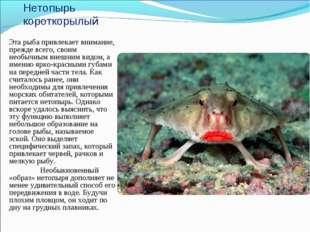 Нетопырь короткорылый Эта рыба привлекает внимание, прежде всего, своим необы