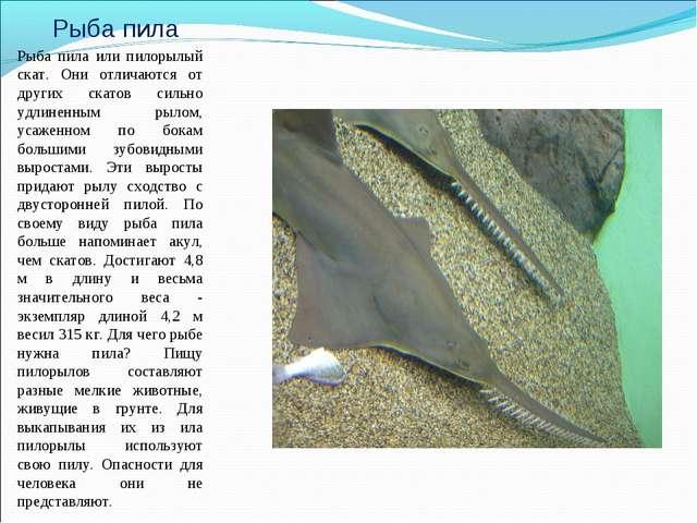 Рыба пила Рыба пила или пилорылый скат. Они отличаются от других скатов сильн...