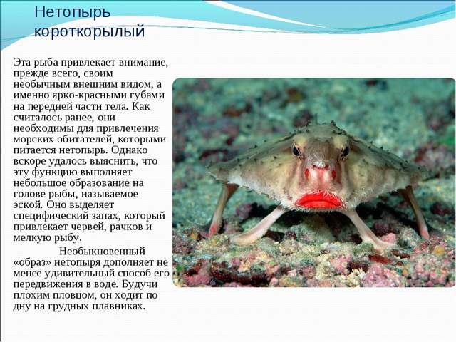 Нетопырь короткорылый Эта рыба привлекает внимание, прежде всего, своим необы...
