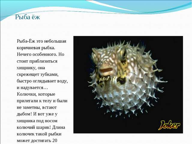 Рыба ёж Рыба-Ёж это небольшая коричневая рыбка. Нечего особенного. Но стоит п...