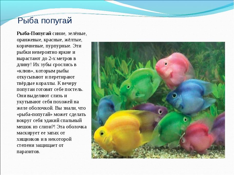 Рыба попугай Рыба-Попугай синие, зелёные, оранжевые, красные, жёлтые, коричне...