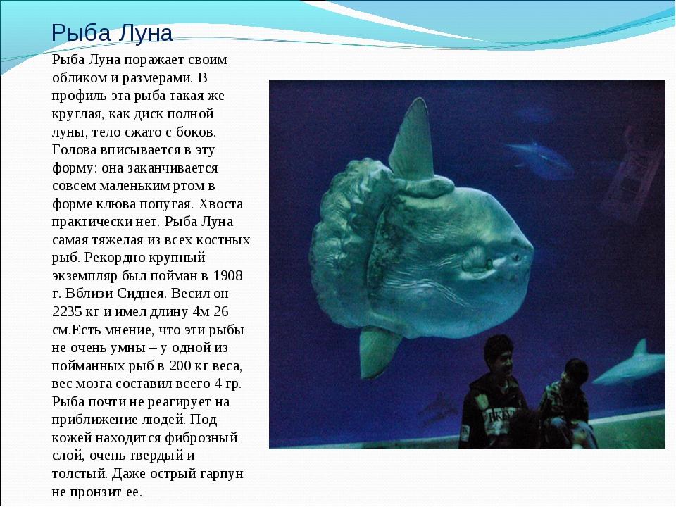Рыба Луна Рыба Луна поражает своим обликом и размерами. В профиль эта рыба та...